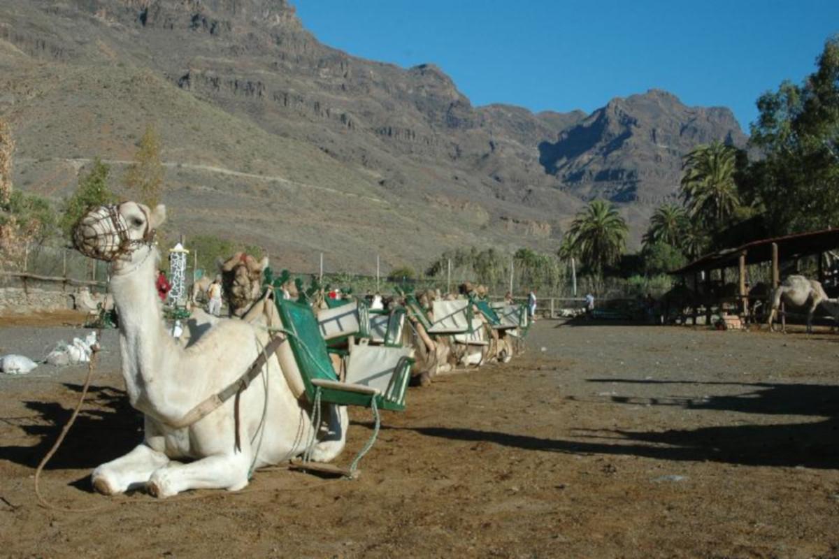 Gran Canaria, safari na ťavách