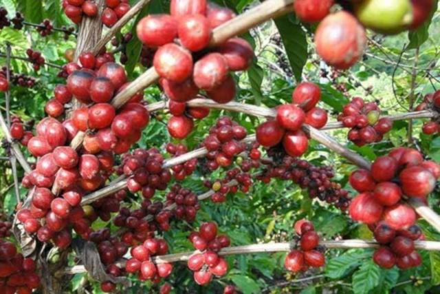 Okruh a kávová plantáž